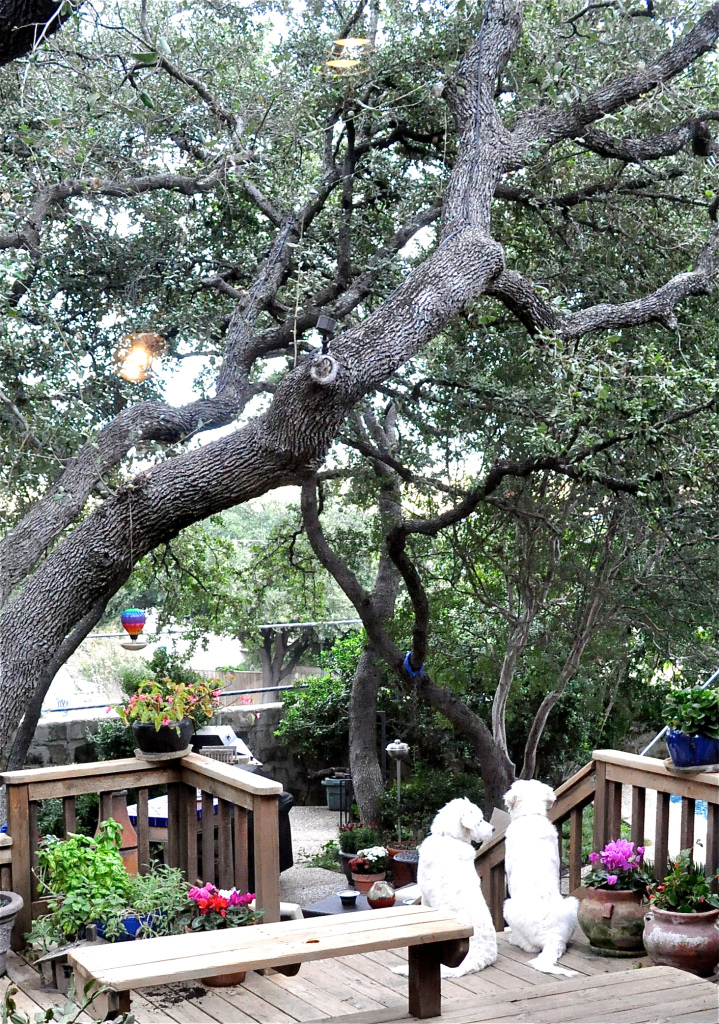 two large white dogs sitting on a deck with trees overhead
