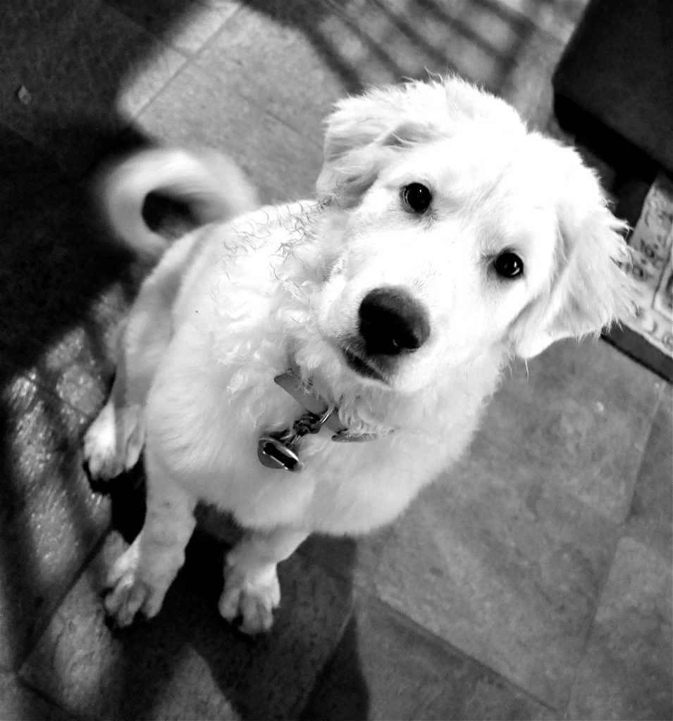 black and white image of a large white puppy looking up at the camera