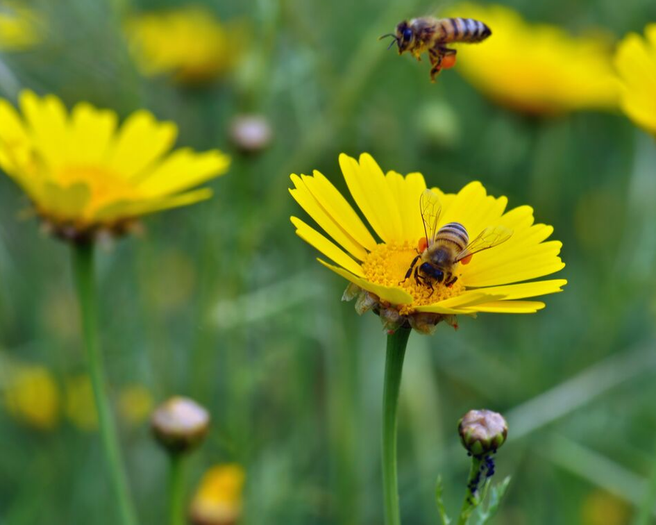 two bees pollinating yellow flowers