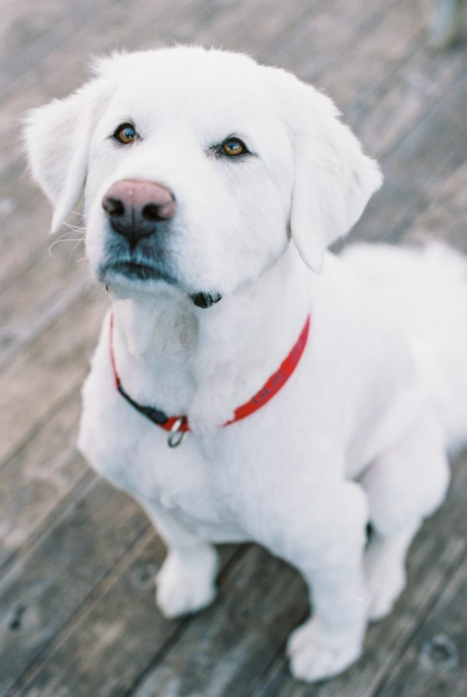 a large white Great Pyrenees dog with a red collar. on stares up a the camera