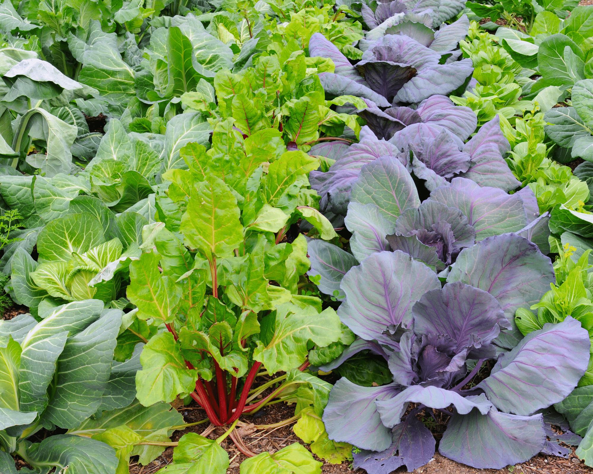 beginner's guide to gardening - multiple rows of lettuce in a garden