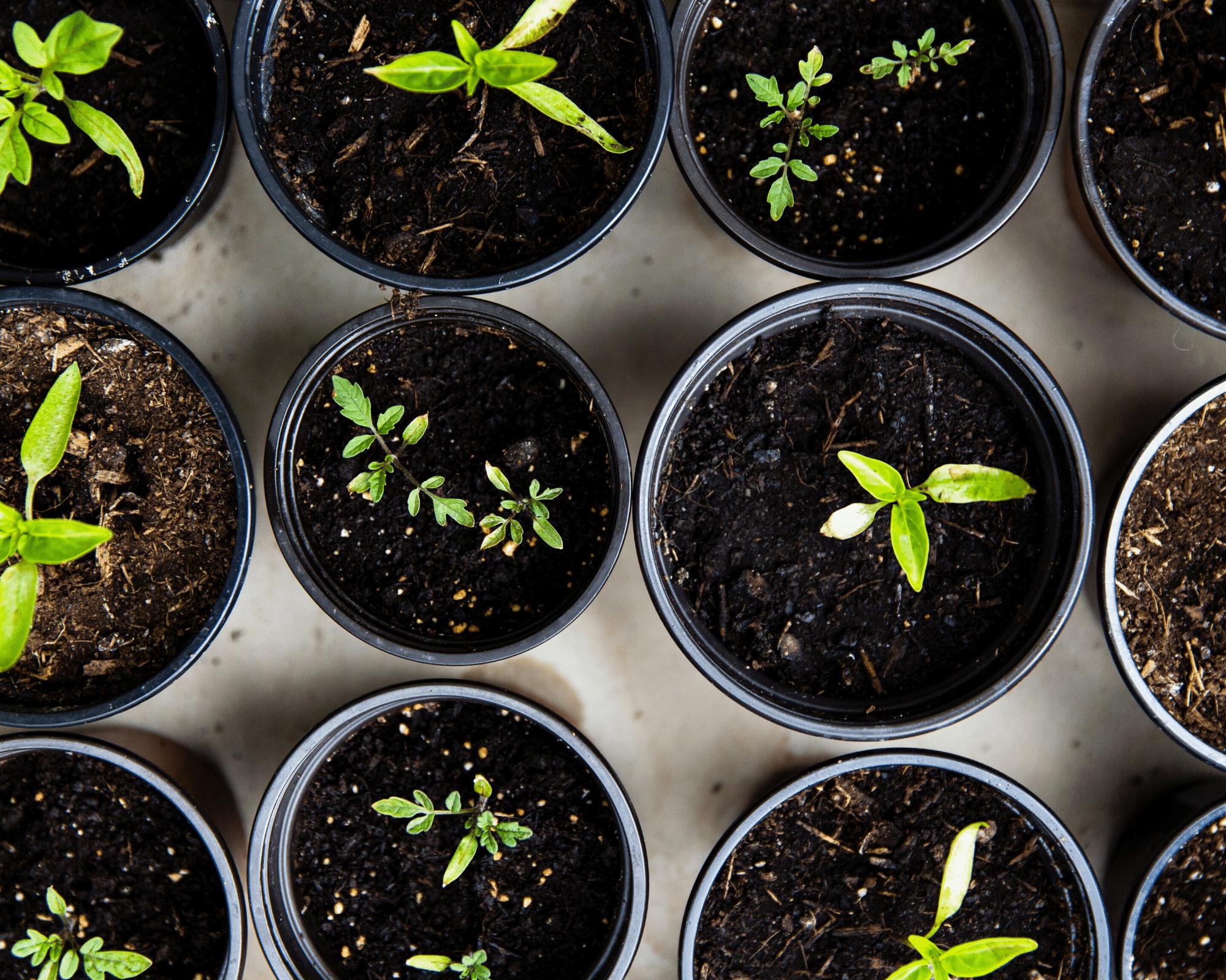 seedlings in soil in black pots - beginner's guide to gardening