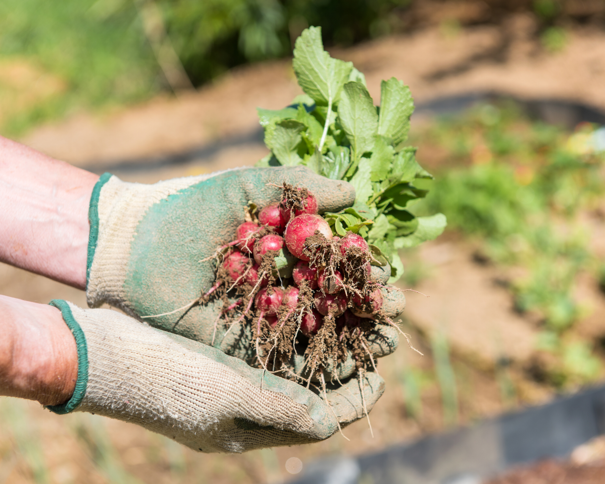 person with gardening gloves on holding a freshly harvested bunch of radishes